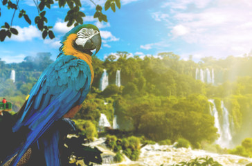 Blue and Yellow Macaw in Iguazu Falls