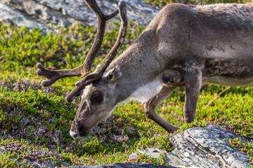 Brown reindeer of the Sami people along the road in Norway