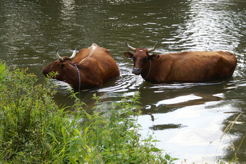 Bathing cows in the river