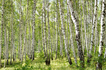 Deurstickers Many birch trees in the forest