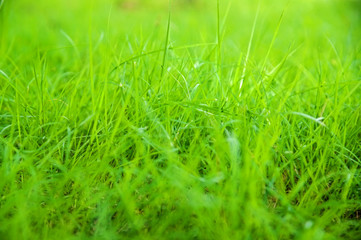 Blurred Growth Green Grass in Sunny Day closeup Outdoors, overgr