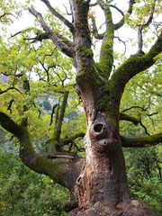 majestic old tree with moss