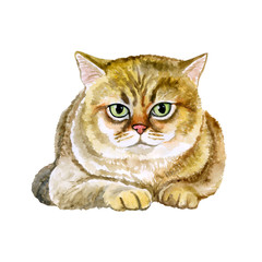 Watercolor close up portrait of popular British shorthair cat breed isolated on white background. Rare golden chinchilla colouration. Hand drawn home pet. Greeting birthday card design. Clip art