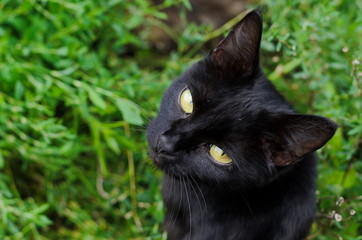 Black witch cat with yellow eyes on background of green grass, view from above