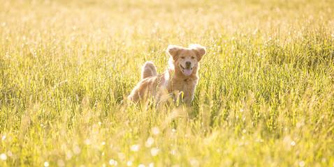 golden retriever dog running fast through tall grass