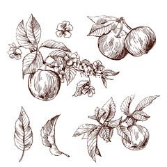 sketching of apples