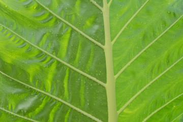 Freshness Leaf of Great Caladium