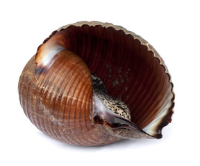 Very large live sea snail (Tonna galea or giant tun)