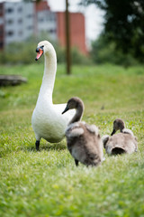 Swan mother with cygnet