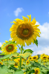 Closeup sunflower with beautiful sky