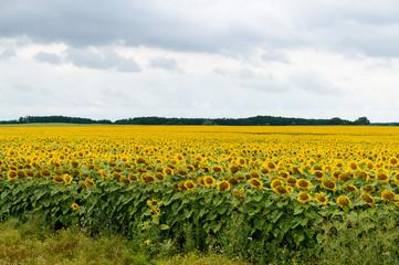 Wide yellow field of sunflowers.