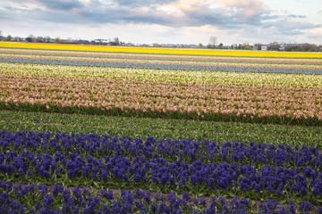 Hyacinth. flower fields in Netherlands.