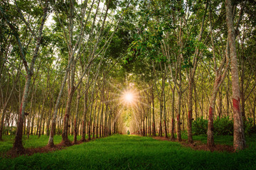 Rubber plantation. Natural tunnel of rubber plantation at sunset from Phuket Thailand