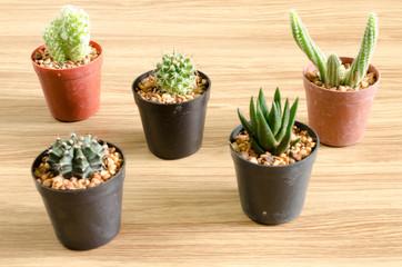 Cactus on wood background