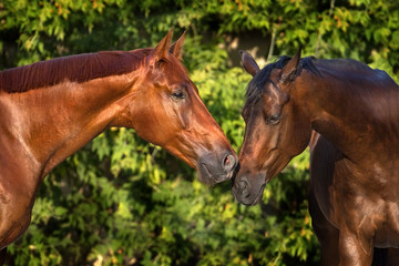 Portrait of a couple horses against green background