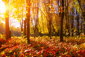 autumn trees with the sun rays