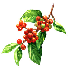 Red coffee arabica beans on branch isolated, watercolor illustration