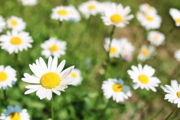 daisy and jasmine bush in summer