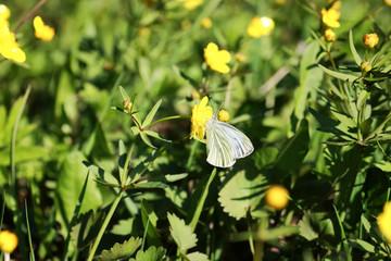 wild spring flower in a field