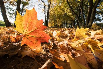 Fotoväggar - rotes Ahornblatt im Herbstlaub