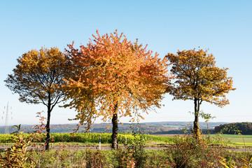 Fotoväggar - Herbst - drei bunte Bäume mit blauem Himmel
