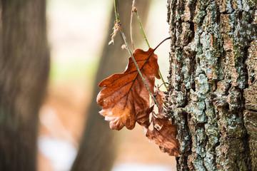 Fotoväggar - Herbst - einzelnes braunes Eichenblatt am Baum