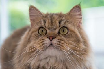 Cute brown tabby persian cat