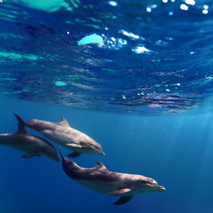 A small pod of dolphins playing in sunrays underwater
