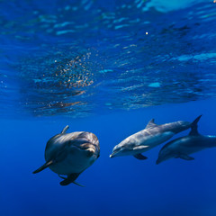 A small flock of dolphins playing in sunrays underwater