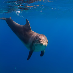 Wild Dolphin Alone In Deep Blue Sea