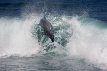 Playful dolphin jumping over breaking waves. Hawaii Pacific Ocean wildlife scenery. Marine animals in natural habitat.