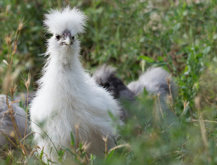 White silkie chick with tousled sticking crest