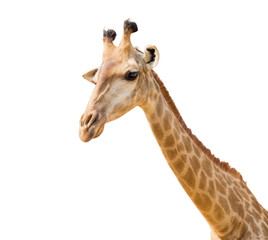 lovely giraffe head isolated on white