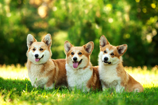 Three dogs of welsh corgi pembroke breed with white and red coat with tongue, sitting outdoors on green grass on summer sunny day