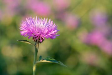 Flower of the whitewash cornflower
