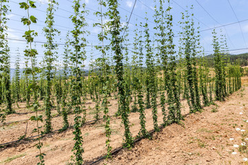 Plantation growing hops in Bulgaria. Thousands of hop plants, th