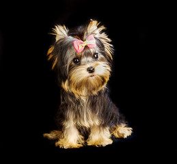 Yorkirsky terrier in studio on a black background. Charming with