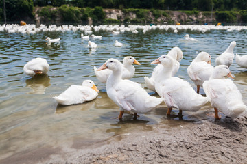 Real white duck in a farm with pond