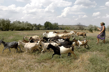 Herd of goats grazing farm animal farm on the steppe meadow in s