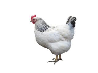 White chicken hen isolated over white
