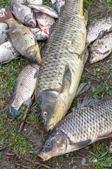 background freshwater fish caught in the river carp, carp and ch