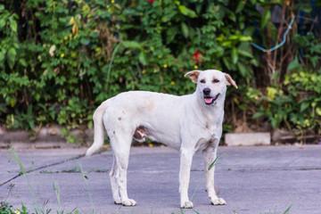 thai white stray dog