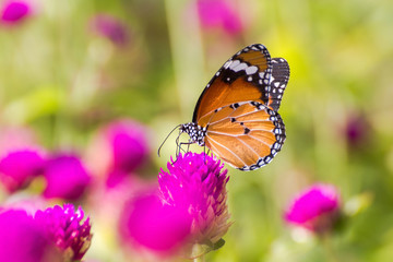 Butterfly perched on pink flower