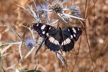 Farfalla Limenitis reducta