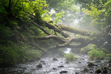 fallen tree on mountain stream in a misty atmosphere. Mt. Daisen, Tottori Pref. Japan.