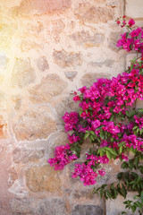 Rustic stone wall with colorful blossoms of bougainvillea flower