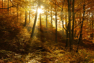 Autumn, Forest of Deciduous Trees Illuminated by Sunbeams through Fog, Leafs Changing Colour, real photograph, no composing