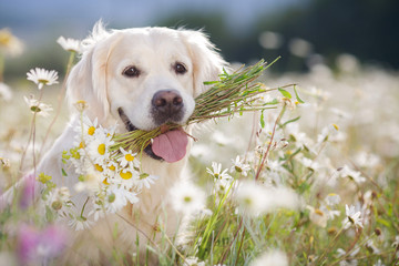 young beautiful dog breed Golden Retriever,kind brown eyes,pink tongue,holding in teeth a bouquet of white field daisies with yellow center,photo is made in spring on a mountain meadow