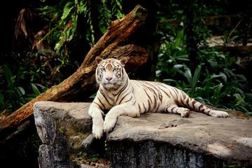 tigre allongé