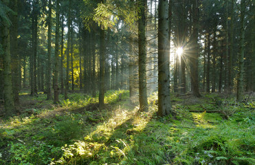 Spruce Tree Forest, Sunbeams through Fog Creating a Mystic Atmosphere